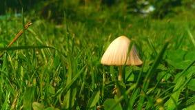 蘑菇在草甸 库存图片