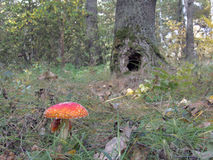 蘑菇在落叶林里 库存照片