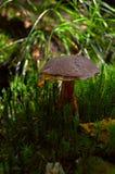 蘑菇在青苔包围的森林里 库存照片