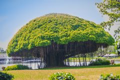 蘑菇塑造了榕树反对绿草领域和蓝天背景 印度榕树是在另一棵植物增长,当的植物 库存照片