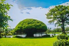 蘑菇塑造了榕树反对绿草领域和蓝天背景 印度榕树是在另一棵植物增长,当的植物 免版税库存照片