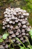 蘑菇家庭与灰色盖帽的 库存照片