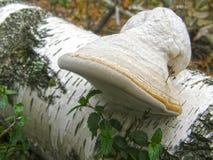 蘑菇带菌者fomentarius 免版税库存图片