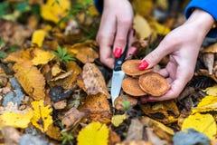 蘑菇捡取器在秋天森林中间收集蜜环菌属mellea,小心地与刀子的裁减 免版税库存图片
