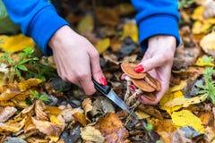 蘑菇捡取器在秋天森林中间收集蜜环菌属mellea,小心地与刀子的裁减 库存图片