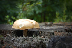 蘑菇树桩 库存照片