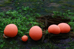 蘑菇桔子 库存图片