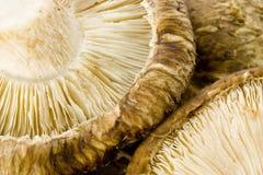 蘑菇椎茸 免版税库存照片