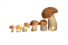 蘑菇橙色盖帽牛肝菌蕈类和牛肝菌蕈类 库存照片
