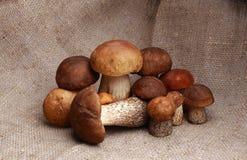 蘑菇橙色盖帽牛肝菌蕈类和牛肝菌蕈类 免版税库存图片