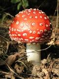 蘑菇毒物 库存图片