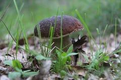 蘑菇牛肝菌蕈类贵族 免版税库存照片