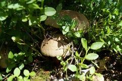 蘑菇牛肝菌蕈类satanas 库存照片