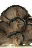 蘑菇牡蛎 免版税库存图片