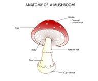 蘑菇的同水准 图库摄影