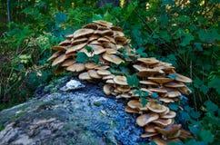 蘑菇的图象在树桩特写镜头的 免版税图库摄影