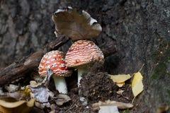 蘑菇的室外宏观射击 两个蘑菇立场在叶子下的森林里 免版税图库摄影