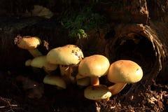 蘑菇硫磺一束 库存照片