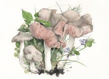 蘑菇粉红孢子伞菌类clypeatum 库存照片