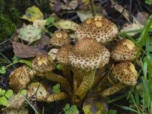 蘑菇粗野的scalycap或鳞甲目squarrosa,宏指令,选择聚焦,浅DOF 库存照片