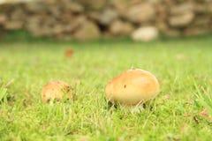 蘑菇红茹属 库存图片
