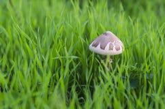 蘑菇草 库存图片