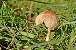 蘑菇草 免版税库存图片