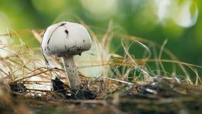 蘑菇蘑菇在森林,特写镜头里增长有被弄脏的背景 股票视频