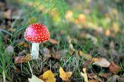 蘑菇蛤蟆菌 免版税库存图片