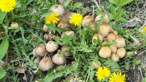 蘑菇补丁和蒲公英 图库摄影