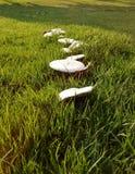 蘑菇足迹 免版税库存照片