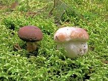 蘑菇软的森林青苔的两个朋友 免版税库存照片
