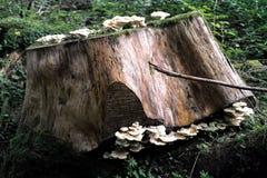 蘑菇采摘和搜寻 免版税库存照片
