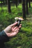 蘑菇采摘和搜寻 库存照片