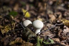 蘑菇马勃菌在秋天的森林在干燥枝杈中, 免版税库存照片
