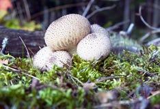 蘑菇马勃菌 免版税库存图片