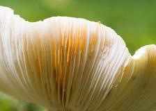 蘑菇鳃 免版税图库摄影