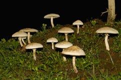 蘑菇,印度特写镜头在雨季的 库存图片