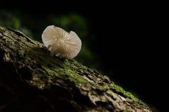 蘑菇, Basidiocarp,西兰蘑菇 库存图片