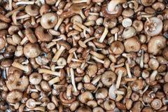蘑菇系列:蜜环菌 免版税库存图片