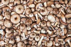 蘑菇系列:蜜环菌 免版税库存照片