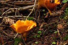 黄蘑菇 夏天Forrest 库存图片
