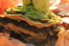 蘑菇(杂色的Trametes) 库存图片