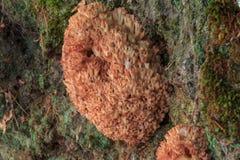 蘑菇-桃红色珊瑚RAMARIA ROSEOLA 免版税图库摄影