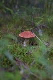 蘑菇-橙色盖帽牛肝菌蕈类在森林里 免版税库存图片