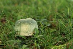 蘑菇-红茹属绿色 免版税库存照片