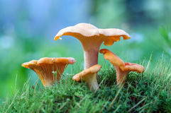 黄蘑菇 库存照片