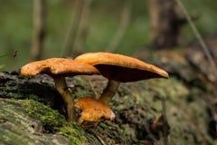 蘑菇02 免版税库存图片