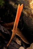 蘑菇(Clavulinopsis corallinorosacea) 免版税图库摄影