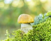 蘑菇(Leccinum versipelle) 免版税库存照片